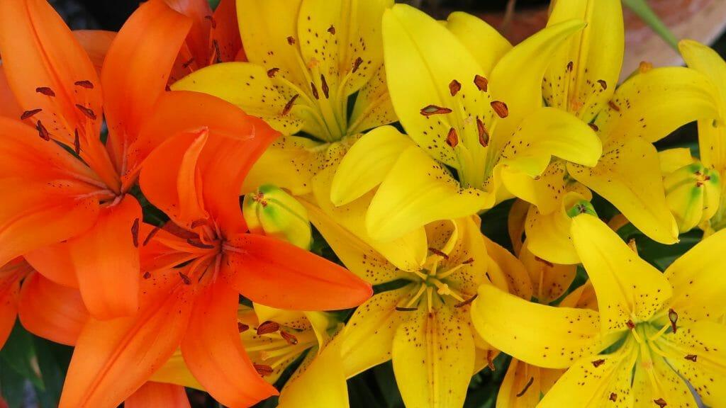 Lilium Yelloween lily