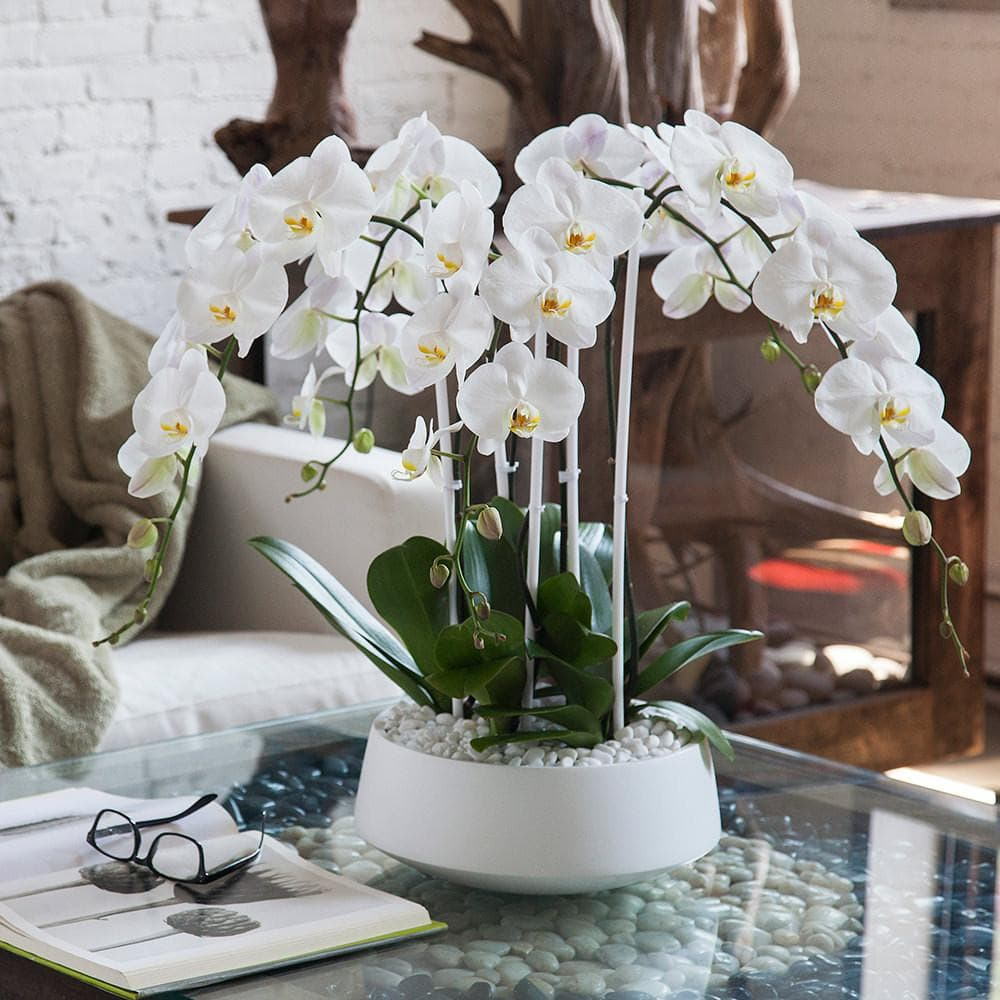 Orchid diva orchid delivery new york city