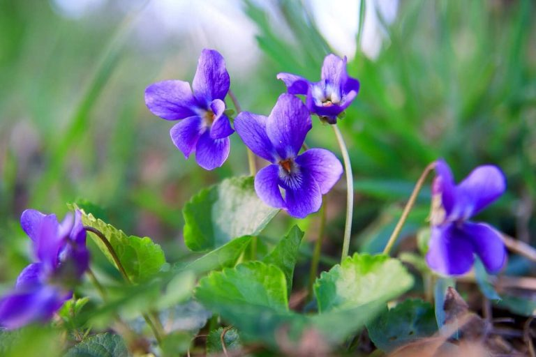 The Official Birth Flower For February Violets