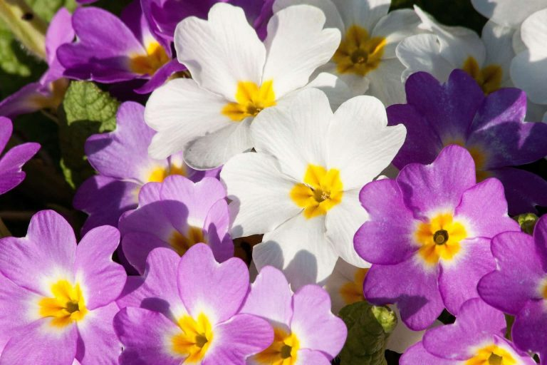 Primrose Flowers February Birthdays