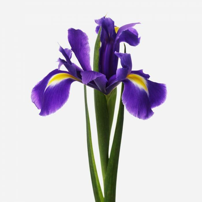 Purple Iris Flower Delivery Flowerbx