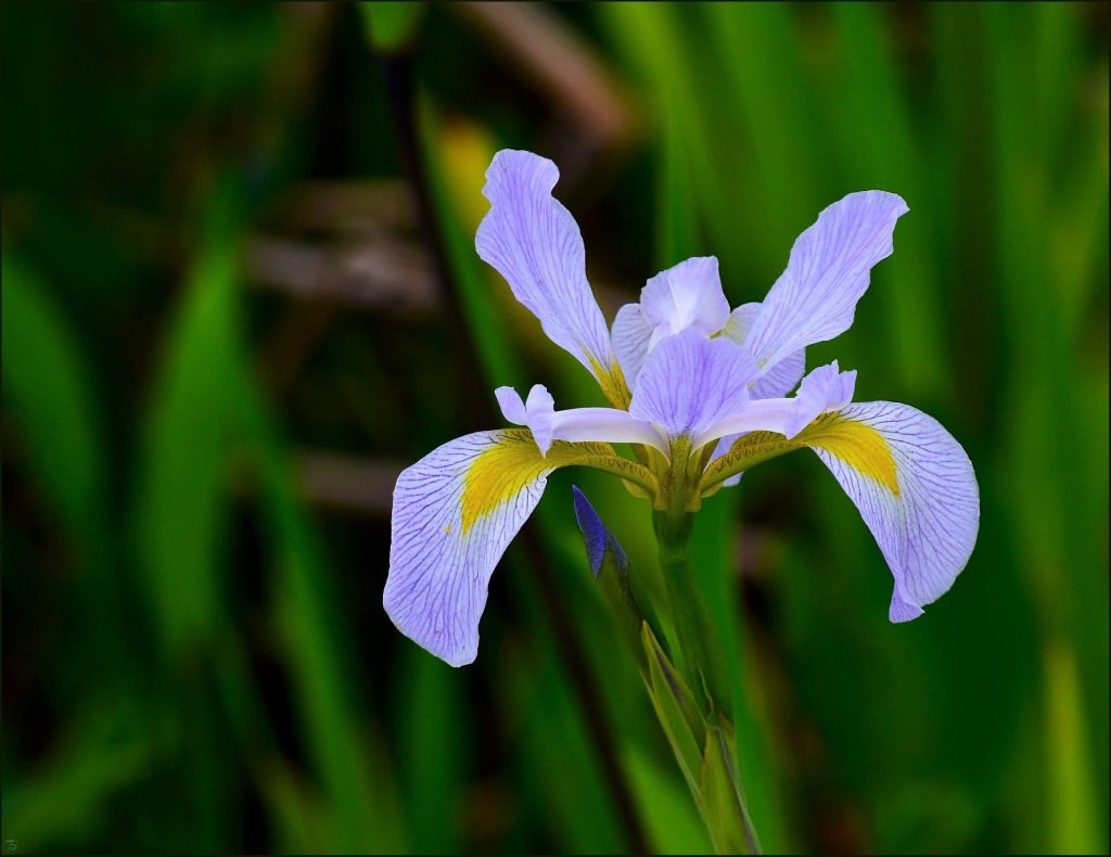 Dutch Iris Bulb