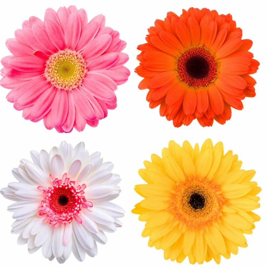 Gerbera daisy origins