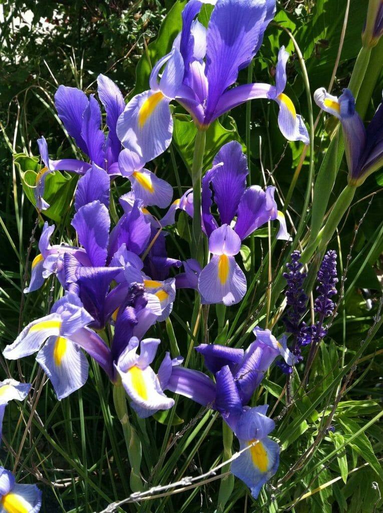 Beardless Iris Flowers