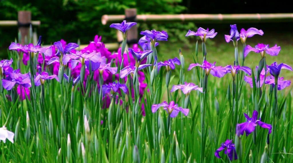 Iris Flower May Birthday