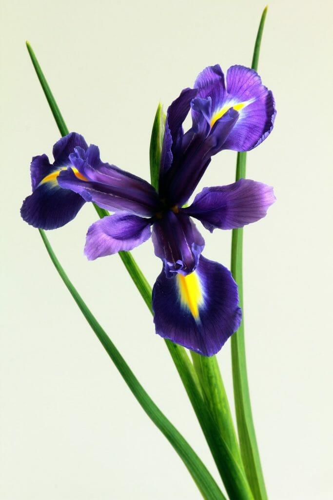 Crested Iris Flower
