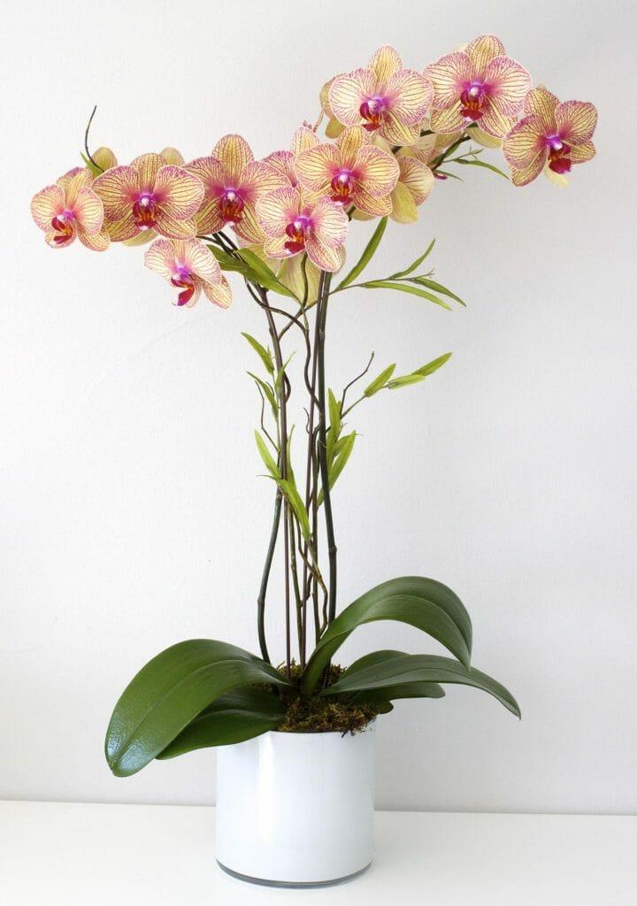 LA Orchidia orchid delivery Los Angeles