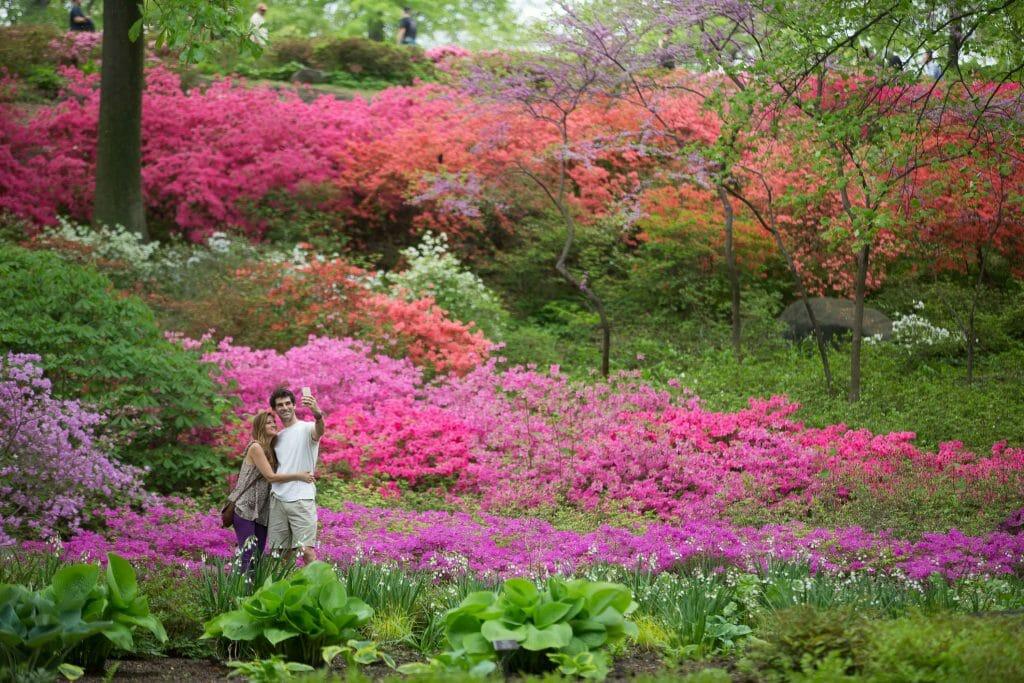 New York Botanical Garden Azalea