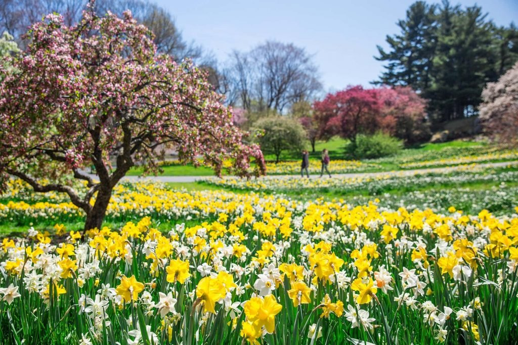New York Botanical Garden Daffodil Hill