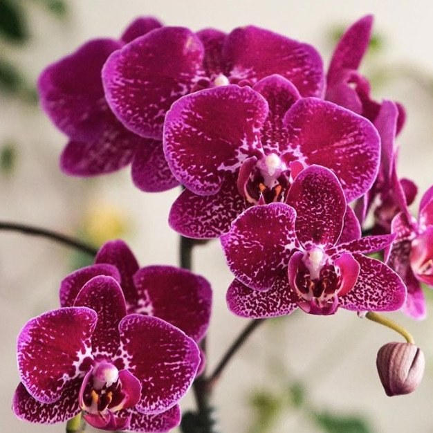 The Bouqs Orchid Delivery Miami