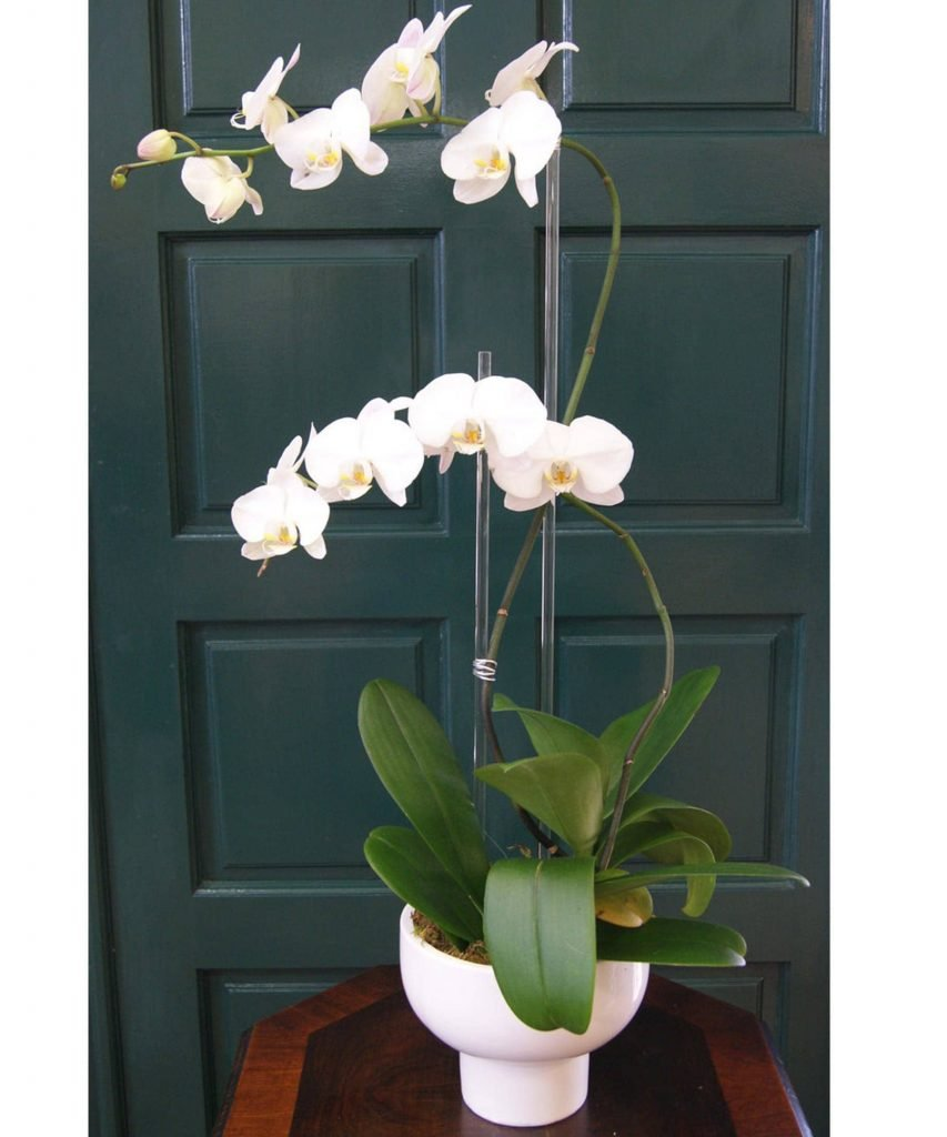 Trias White Orchid Delivery Miami