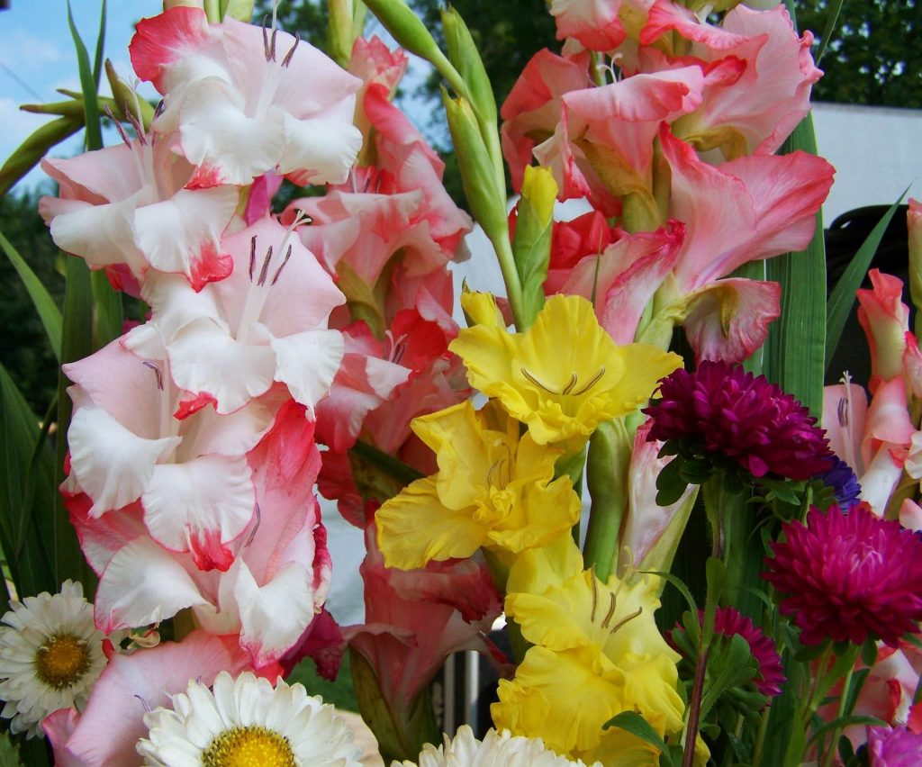Gladiolus Flowers Care and Handling