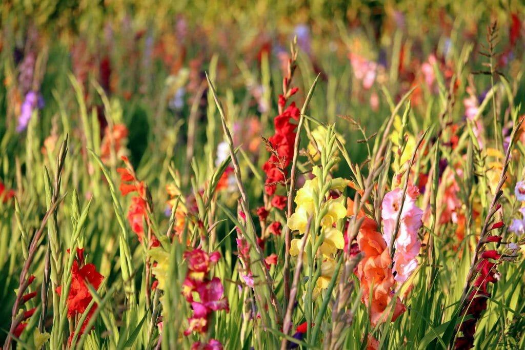 Gladiolus Flower Hybridisation