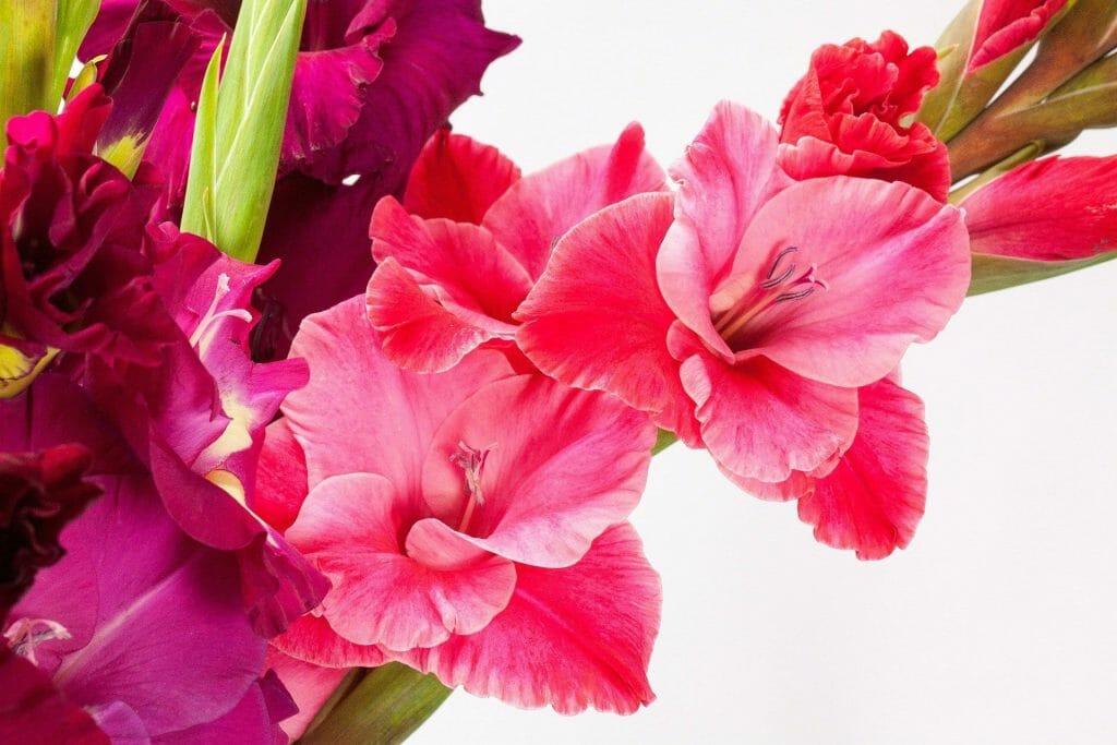 The Gladiolus Flower