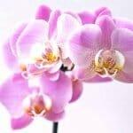 Orchid Delivery Miami