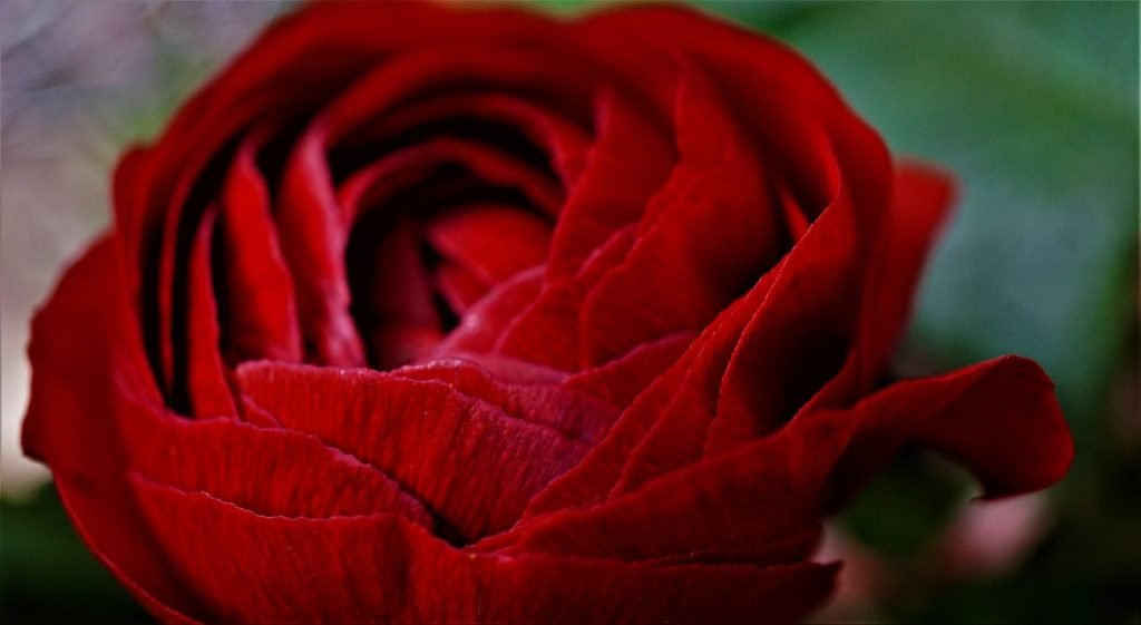 Ranunculus Flowers 'Tango'