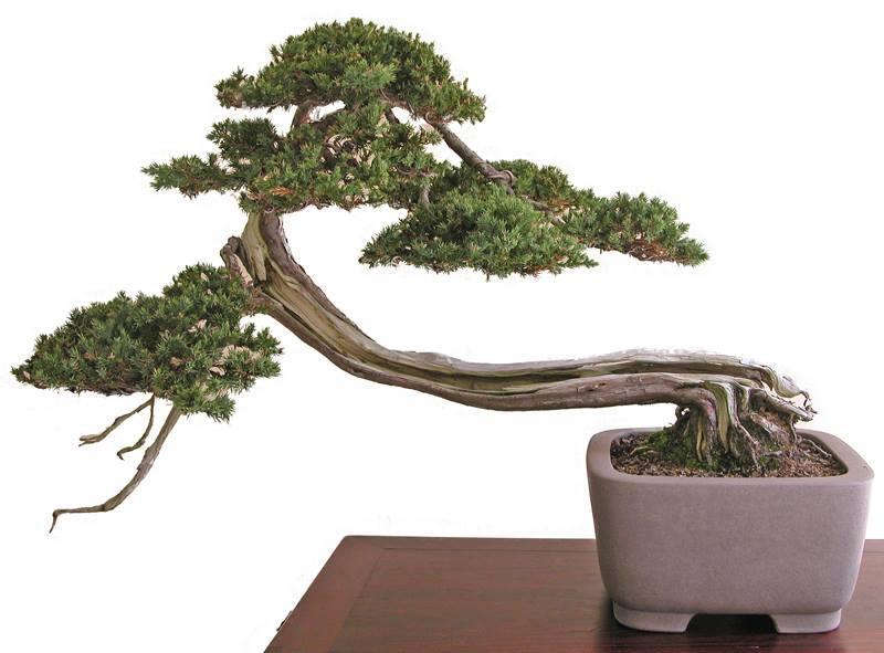 Bonsai Boy of New York Bonsai Trees For Sale