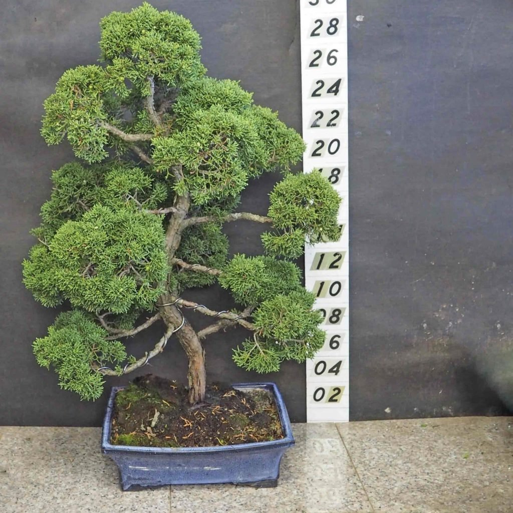 Bonsai-of-Brooklyn-Bonsai-Trees-for-Sale