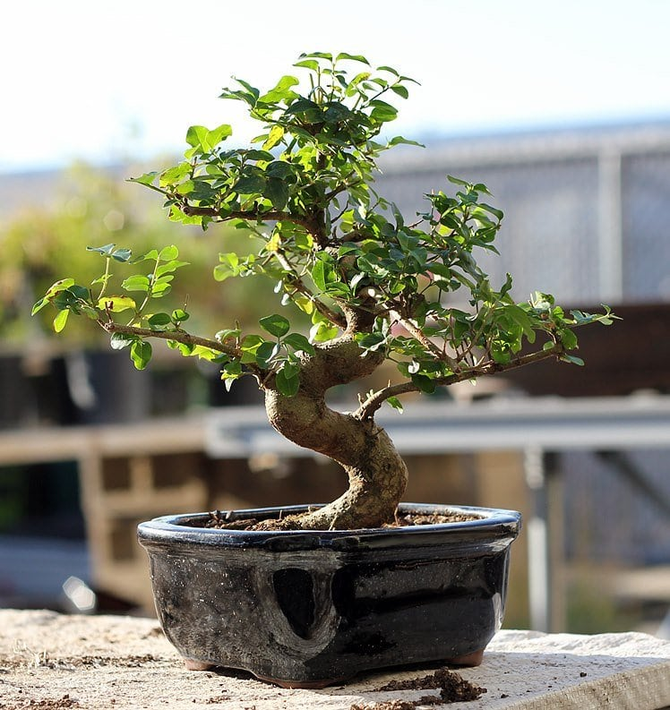 Eastern Leaf Bonsai Trees For Sale