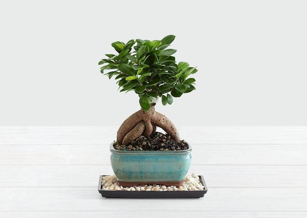 FTD-Bonsai-Trees-For-Sale