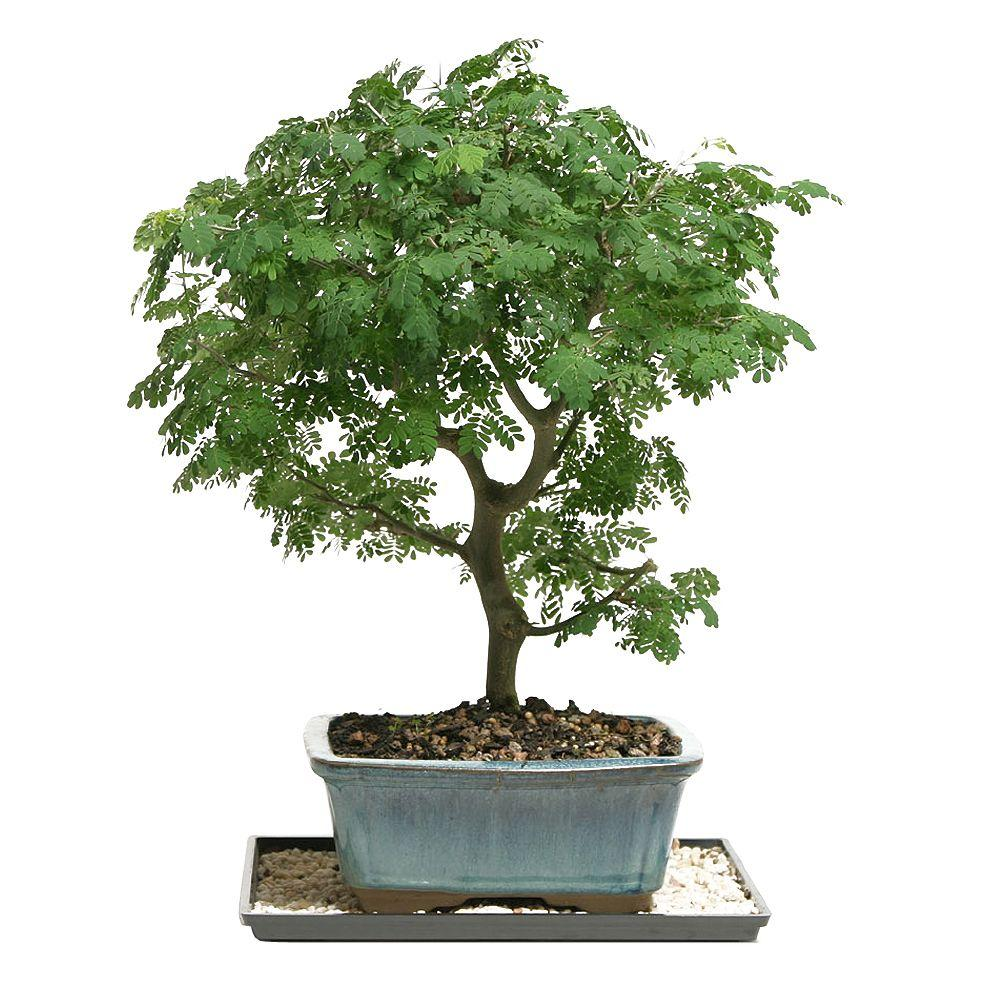 Home Depot Bonsai Trees For Sale