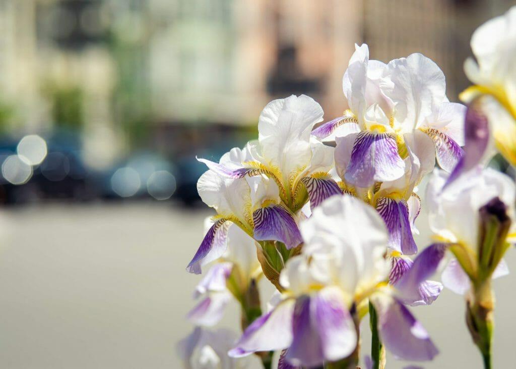 White Irises Birthday Flowers April