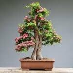 Bonsai Tree For Sale Main