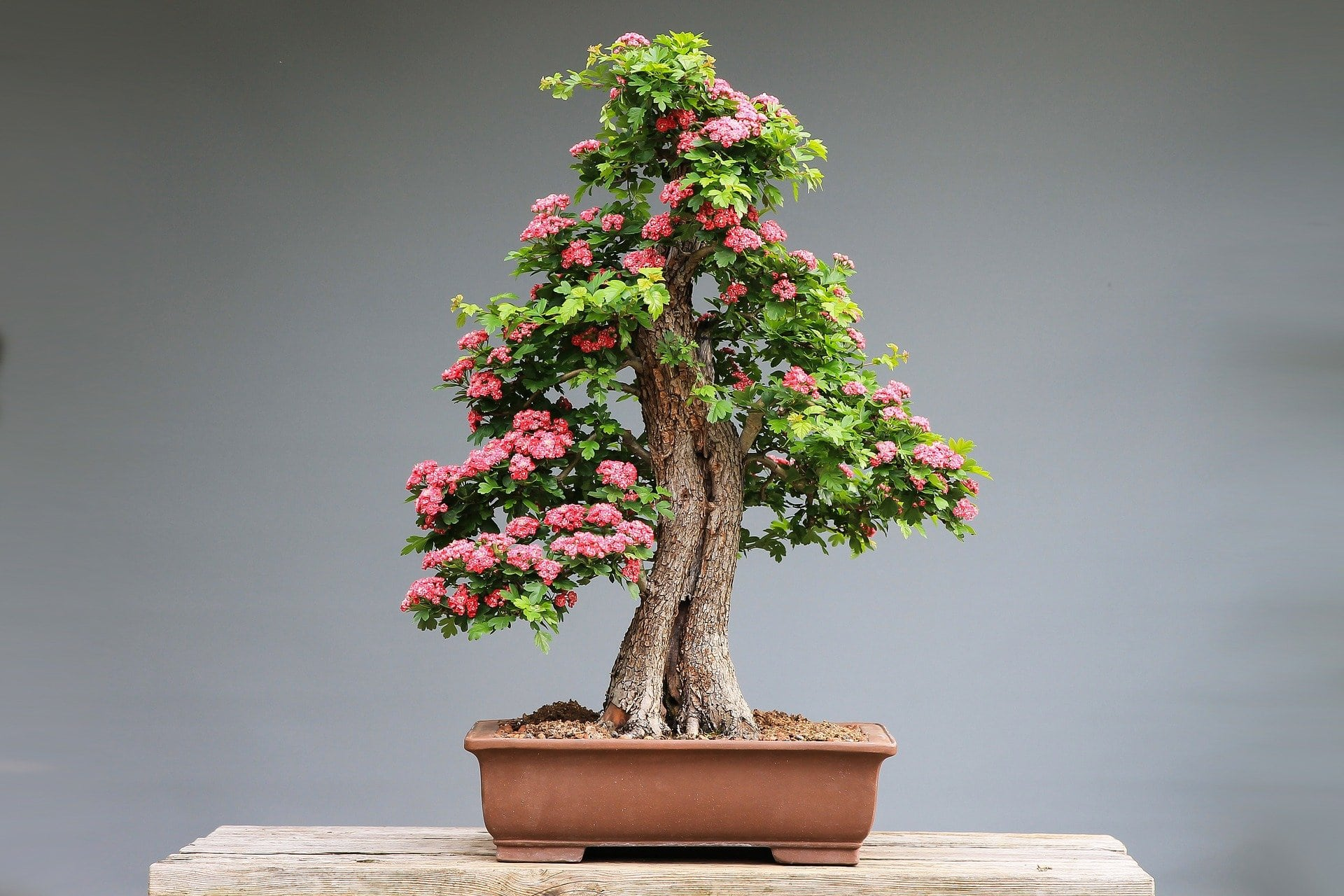 Where To Find The Best Bonsai Trees For Sale In The Usa Petal Republic