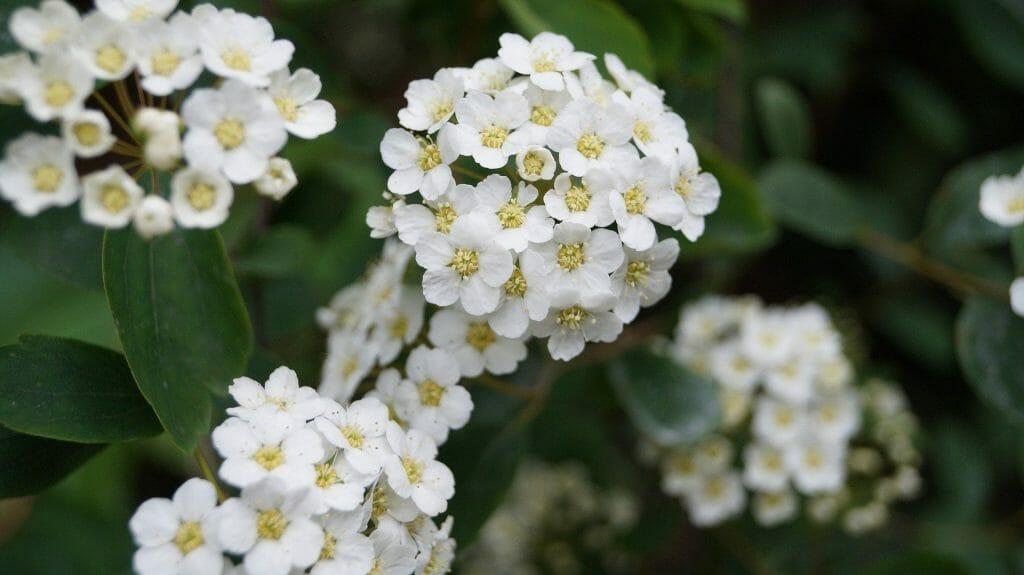 Hawthorn May Birth Flower