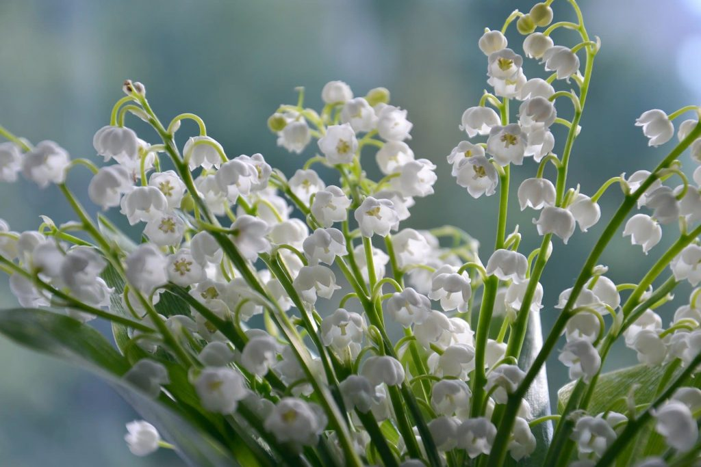 Lily of the Valley May Birthday Flowers For May