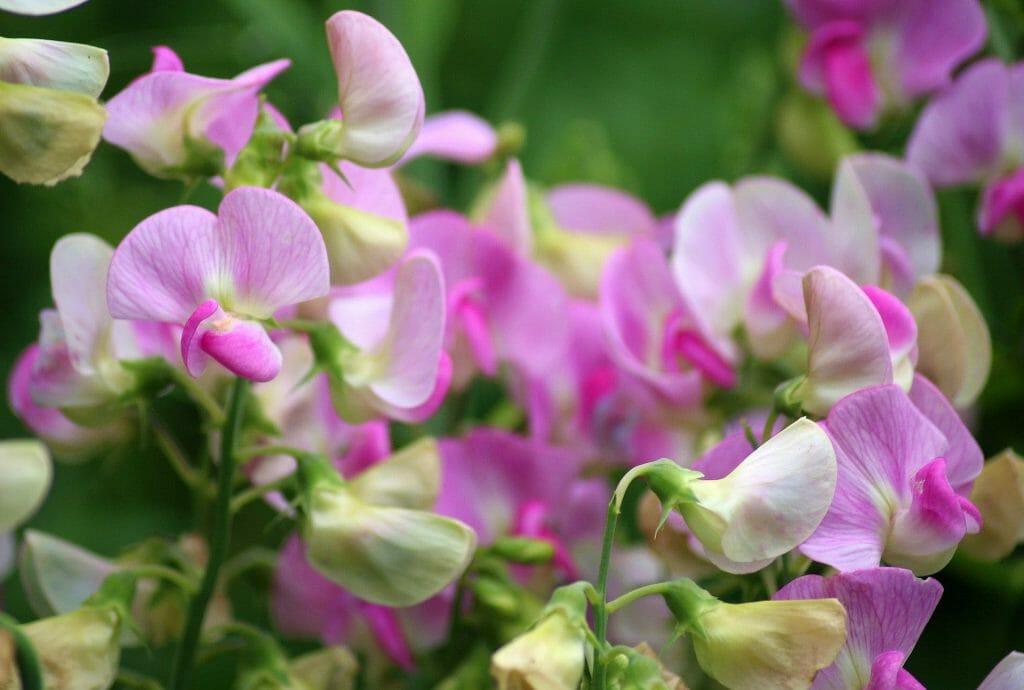 Sweet Pea April Birthday Flower