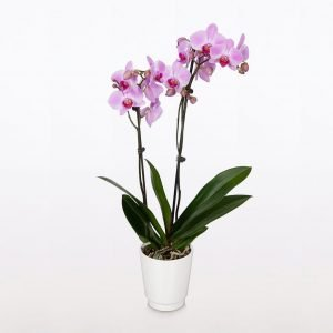 BloomsyBox NYC Orchid Delivery