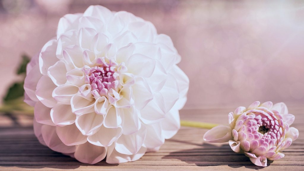 Dahlia official birth flower for August