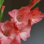 Gladiolus offiical birth flower for August