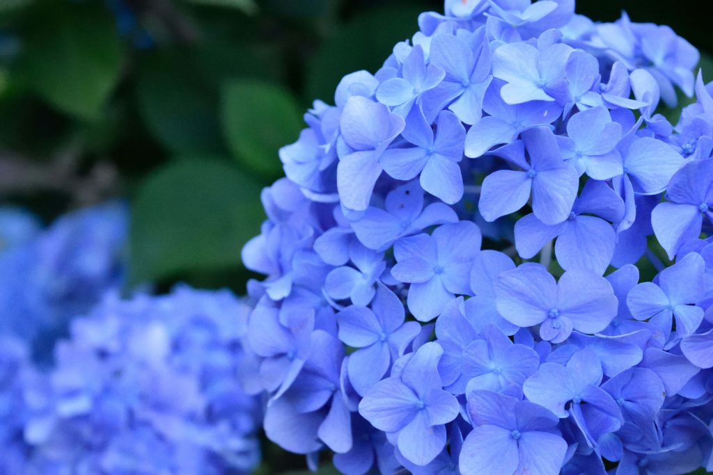 Hydrangeas for July Birthdays
