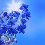Larkspur Offiical July Birth Flower