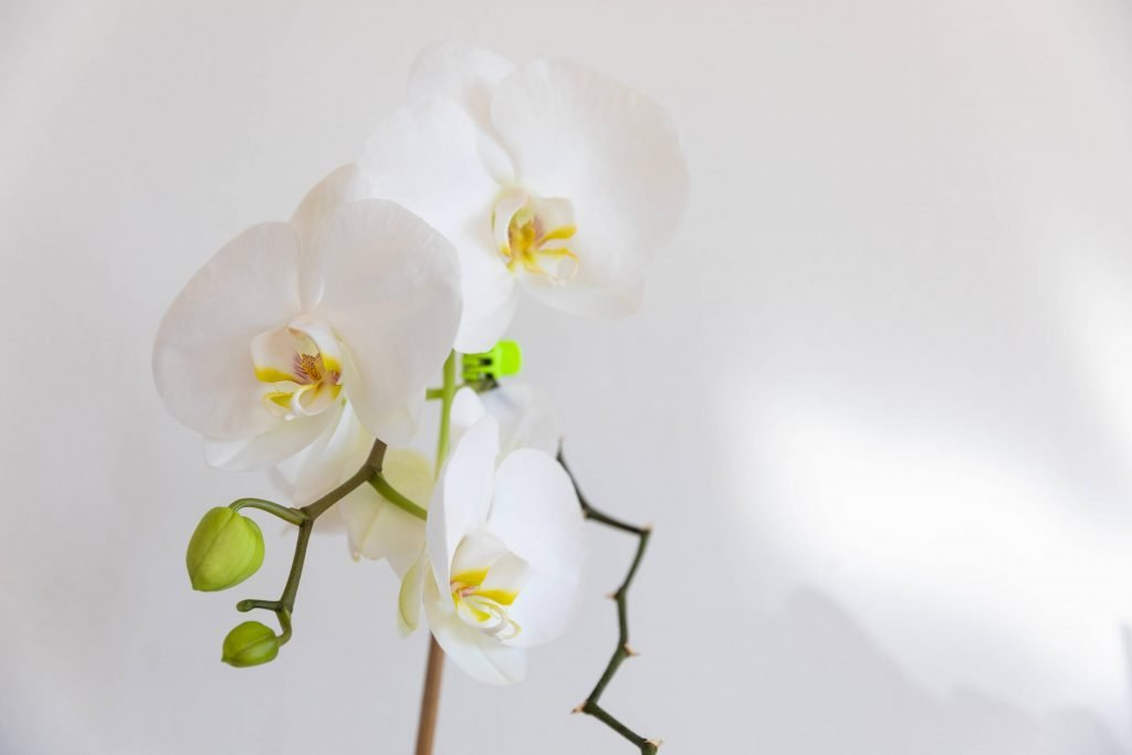Orchids for July Birthdays