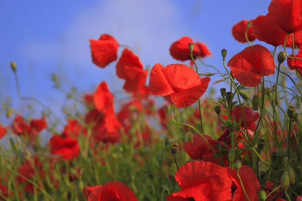 Poppy official birth flower for August