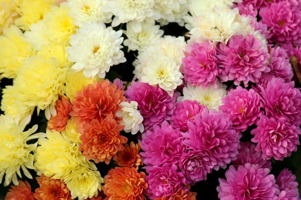 Chrysanthemums birthday flowers for June