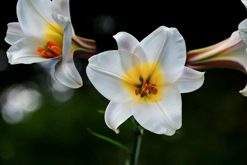 Lilies June Birthday Flowers