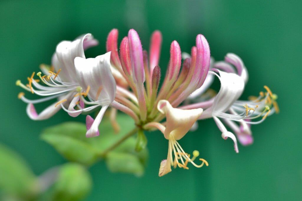 Honeysuckle June Birth Flower