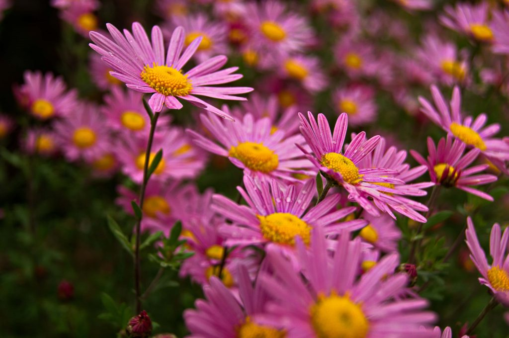 Aster Flower official birth for September to gift