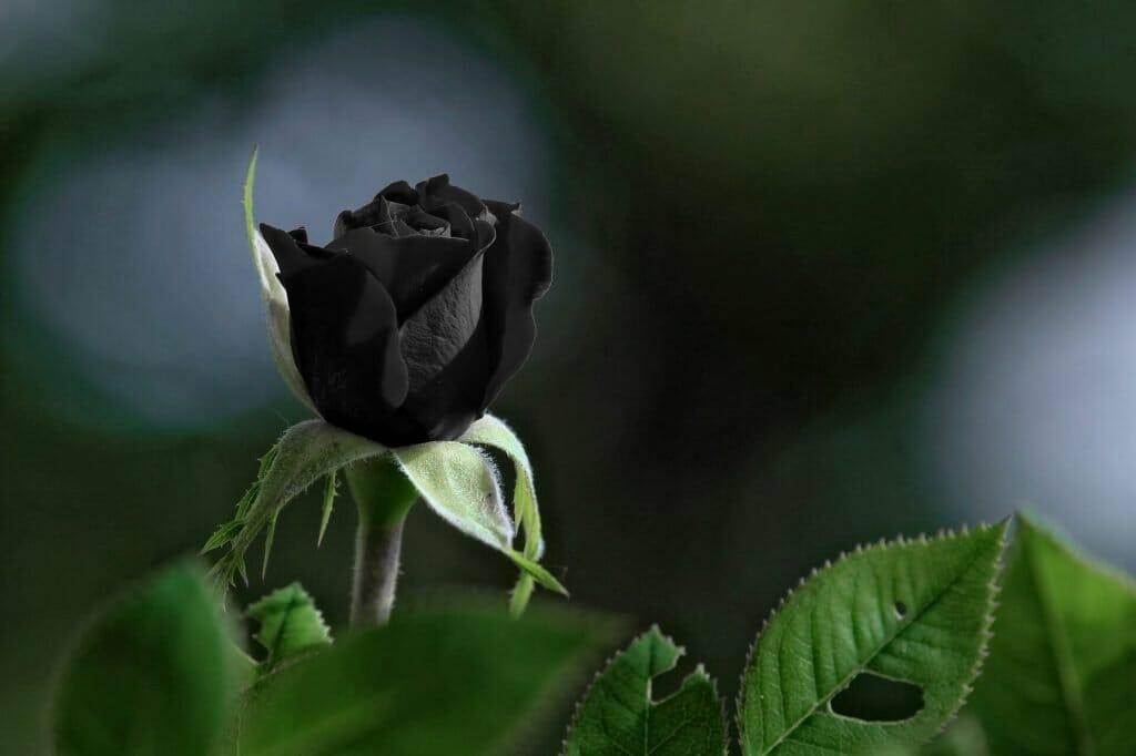 Black rose flower meaning and symbolism