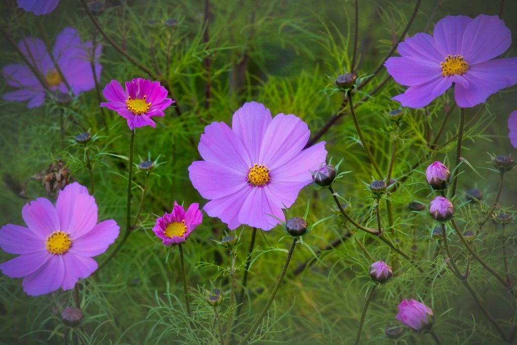 Cosmos Flowers Official October Birth Flower