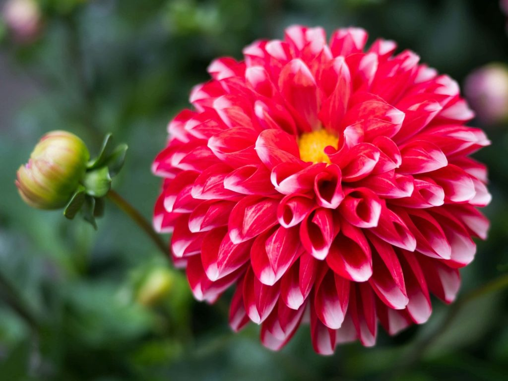 Dahlia Flower Meanings