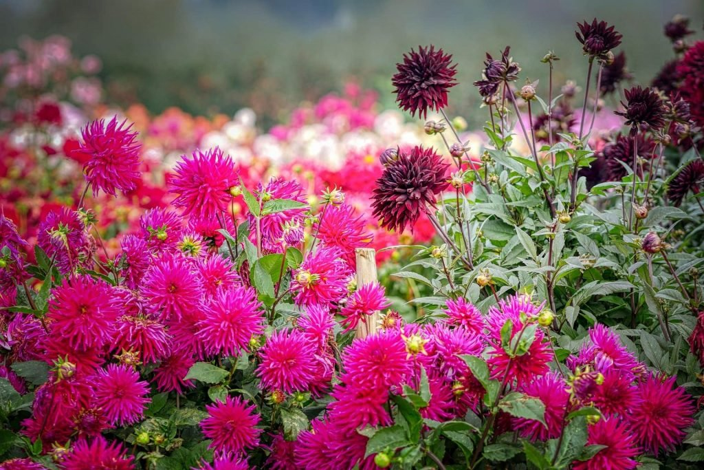 Ultimate Guide To Dahlia Flowers Meaning Symbolism Petal Republic