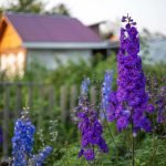 Delphinium Flower Meaning, Symbolism and Colors