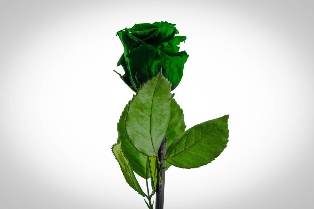 Green Rose Flower Meaning and Symbolism