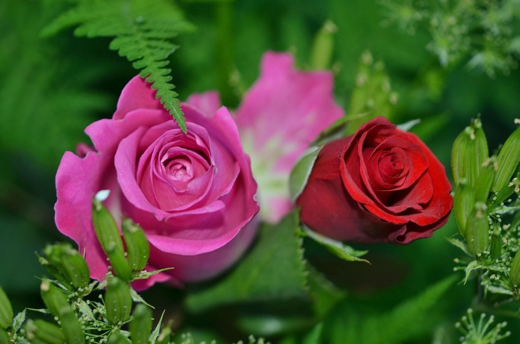 History and origins of the rose flower