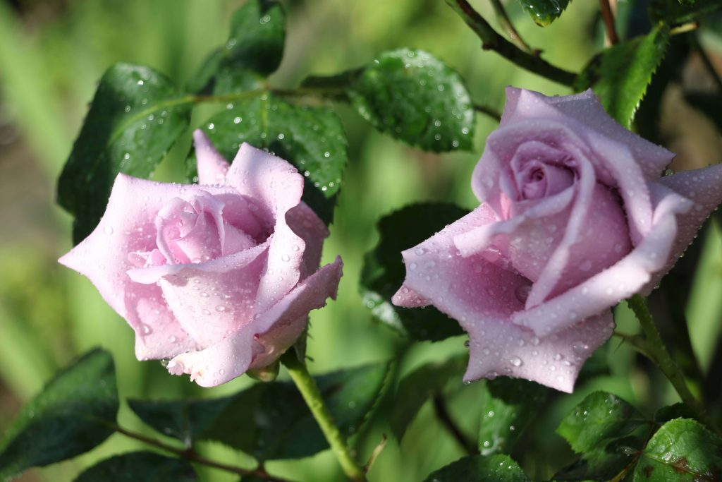 Lavender rose color meaning and symbolism